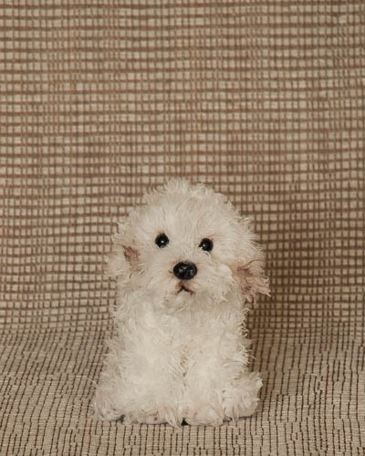 Candy Cane <br /> Puppy Rescue Sm Bichon Frise